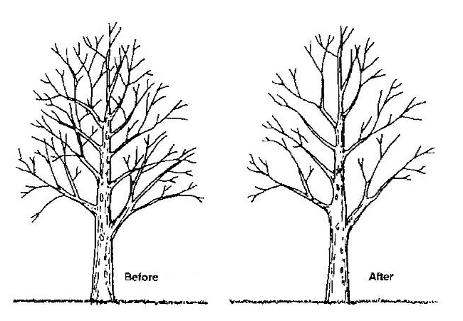 Illustration of tree crown thinning